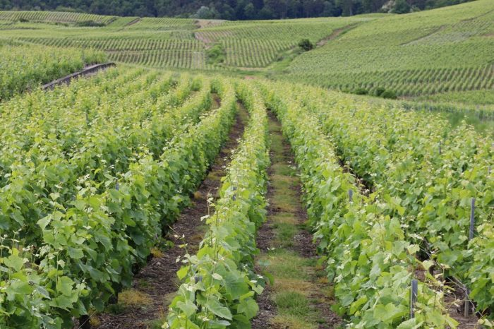 Barging in France includes beautiful scenery like these vineyards in the Champagne region.